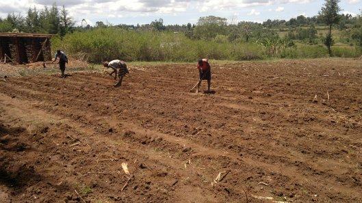 Maize planting 2013